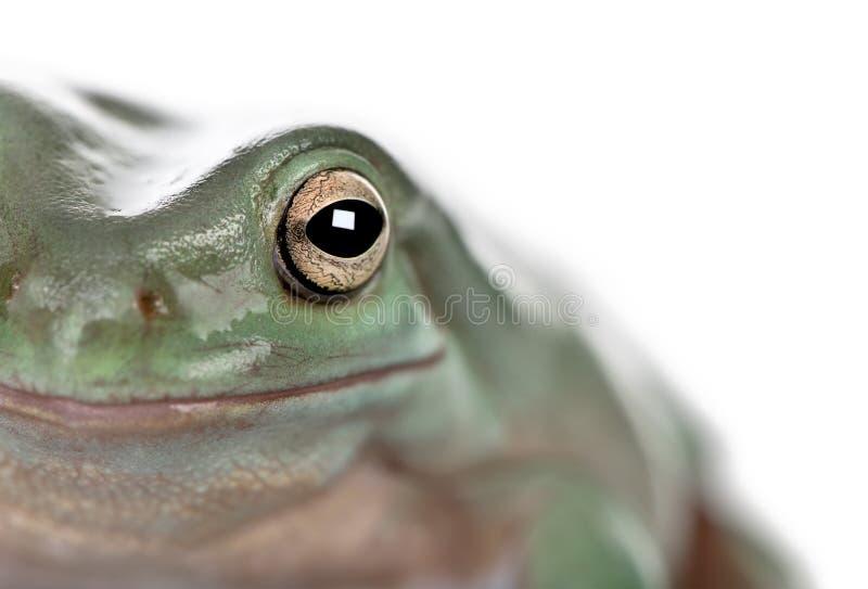 Конец-вверх австралийской зеленой древесной лягушки, caerulea Litoria стоковая фотография rf