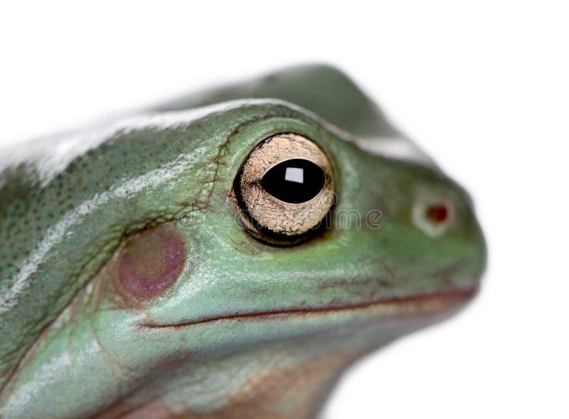 Конец-вверх австралийской зеленой древесной лягушки, caerulea Litoria стоковые фотографии rf