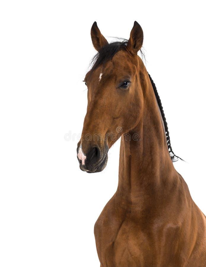 Конец-вверх андалузской лошади стоковое фото