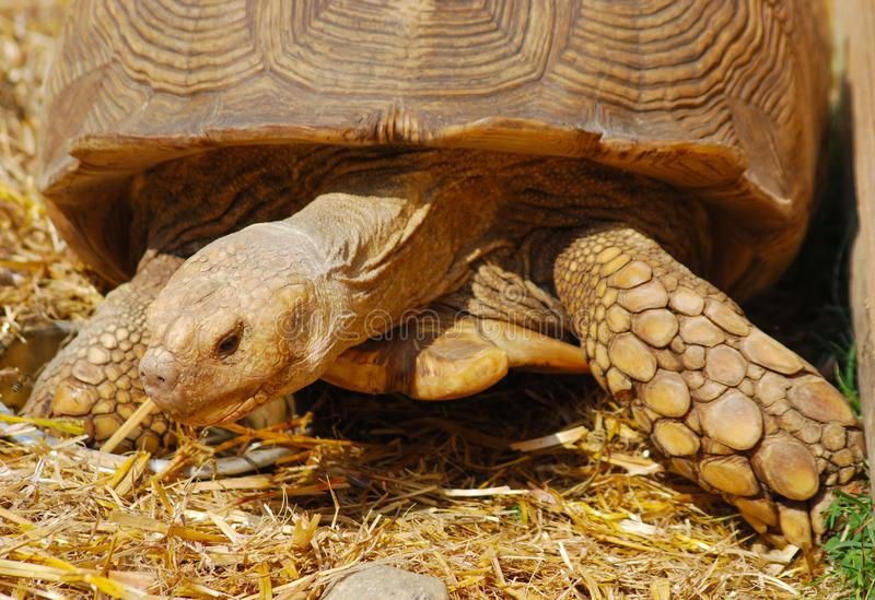 Конец-вверх африканской черепахи стоковые изображения