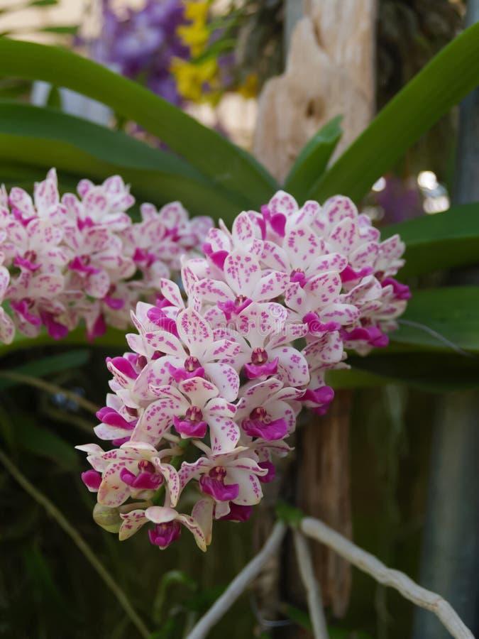 Конец-вверх белой розовой орхидеи на красочной естественной предпосылке стоковые фотографии rf
