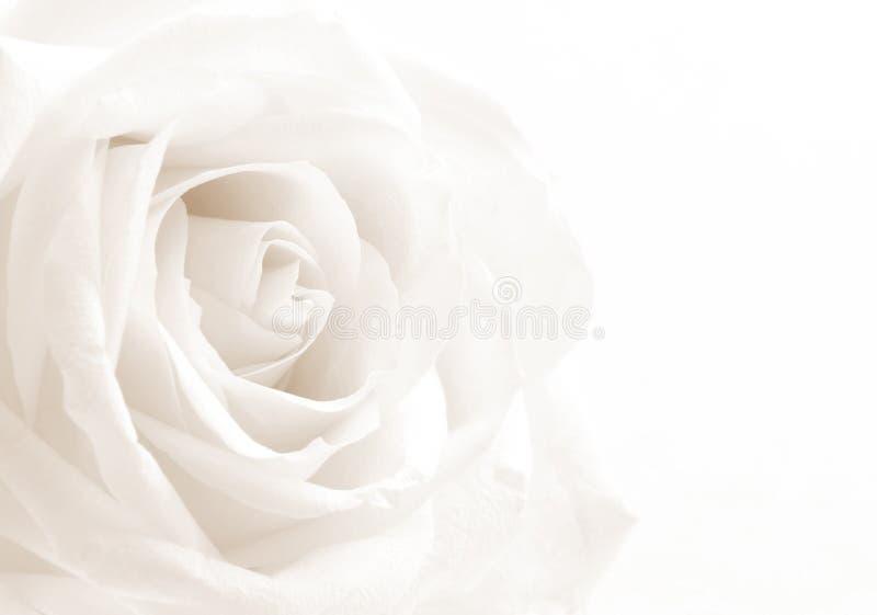 Конец-вверх белой розы как предпосылка сфокусируйте мягко В тонизированном sepia r стоковая фотография