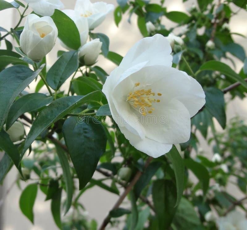 Конец-вверх белых цветков 2 стоковая фотография rf