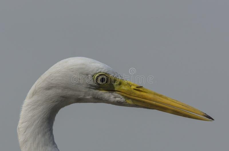 Конец-Вверх большого Ardea Egret alba стоковые фото