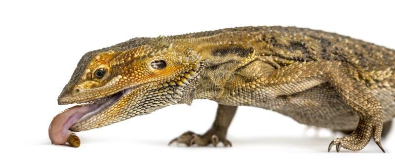 Конец-вверх бородатого дракона есть личинку, стоковое изображение