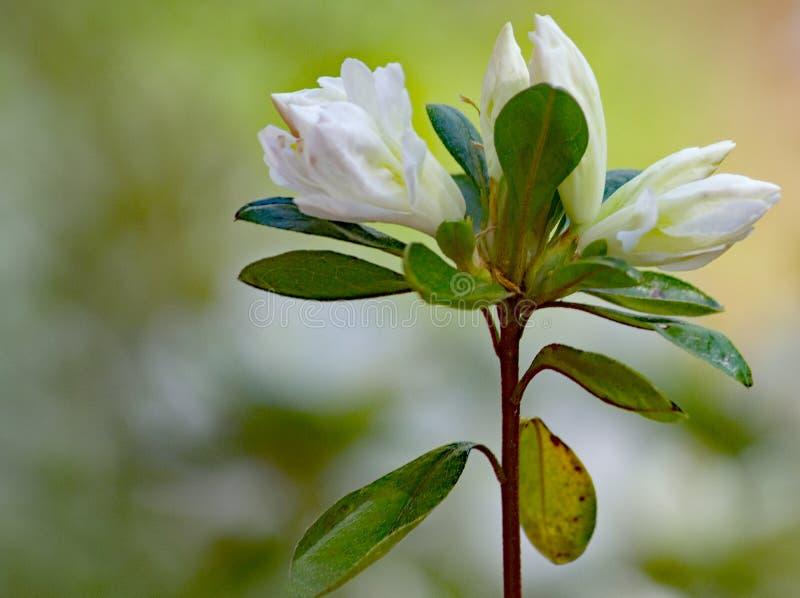 Конец-вверх бутонов азалии группы цветя белых стоковая фотография rf