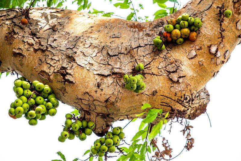 Конец-вверх ветви смоковницы группы с зелеными и красными плодами прикрепленными против белой предпосылки неба стоковые изображения