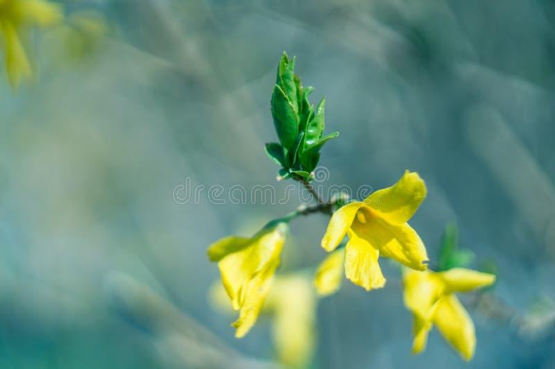 Конец-вверх ветви Forsythia с цветками и всходами на запачканной предпосылке r Мягкий фокус, отборный фокус стоковые фотографии rf