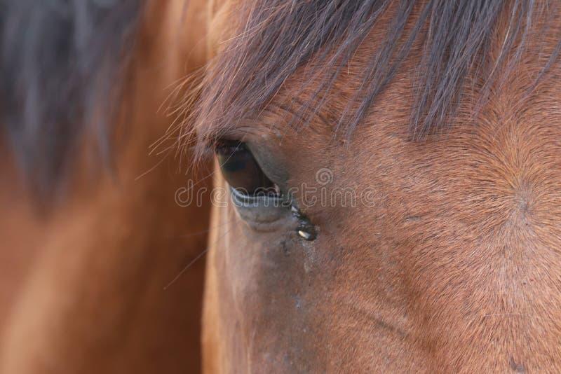 Конец вверх глаза коричневой лошади стоковое изображение rf