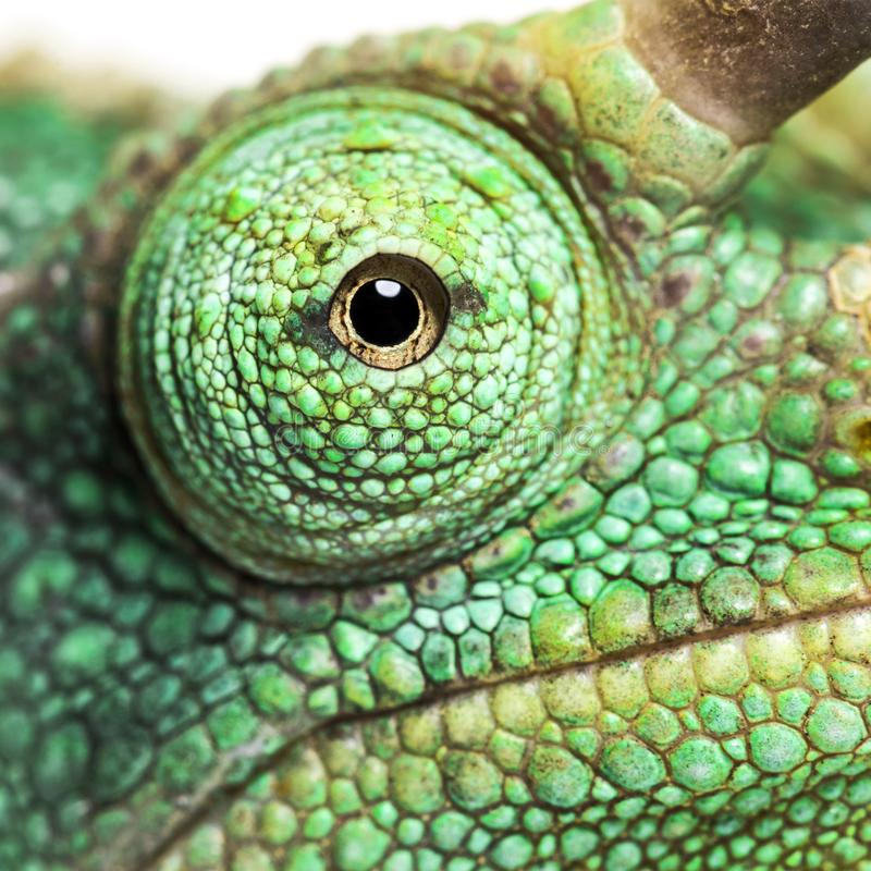 Конец-вверх глаза на хамелеоне Джексон horned стоковое изображение