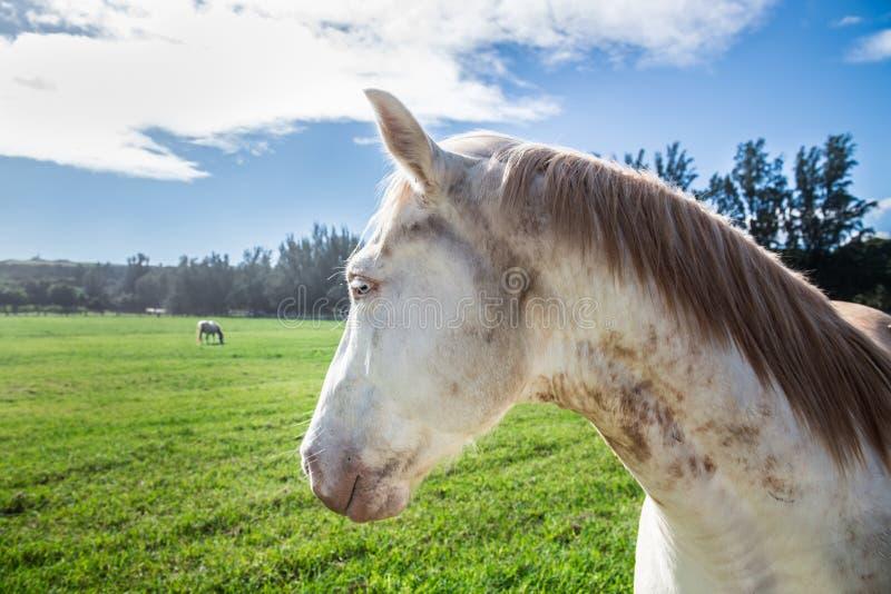 Конец-вверх головы белой лошади на зеленом поле с голубыми глазами стоковые фотографии rf