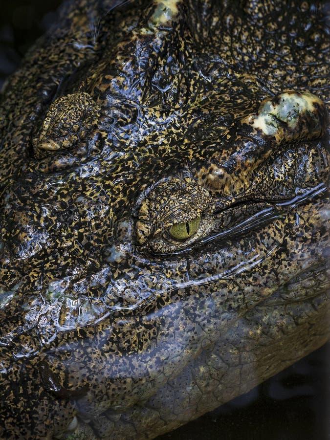 Конец-вверх головы крокодила плавая в воду стоковые изображения rf