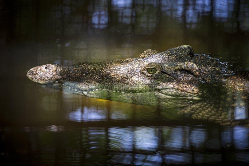 Конец-вверх головы крокодила плавая в воду стоковое фото