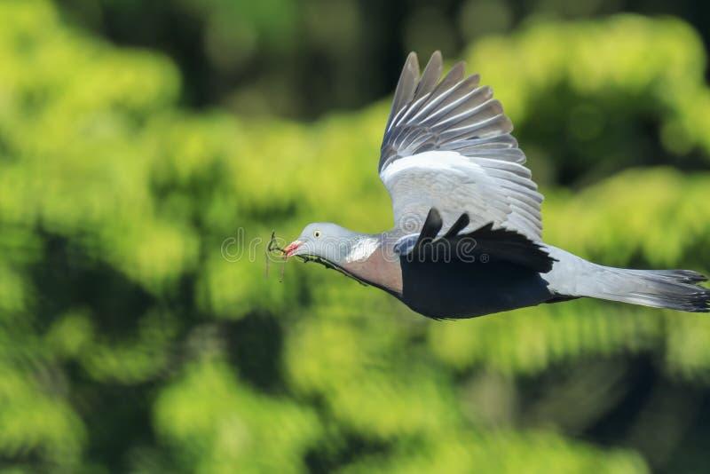 Конец-вверх голубя, palumbus колумбы, птица в whil полета стоковое фото rf
