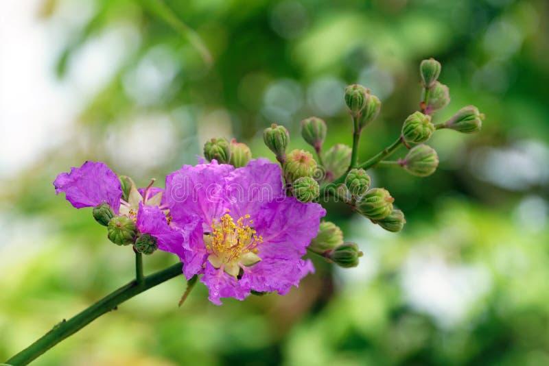 Конец-вверх гордости цветка Индии стоковая фотография
