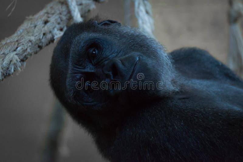 Конец-вверх гориллы лежа назад в гамаке стоковые фото