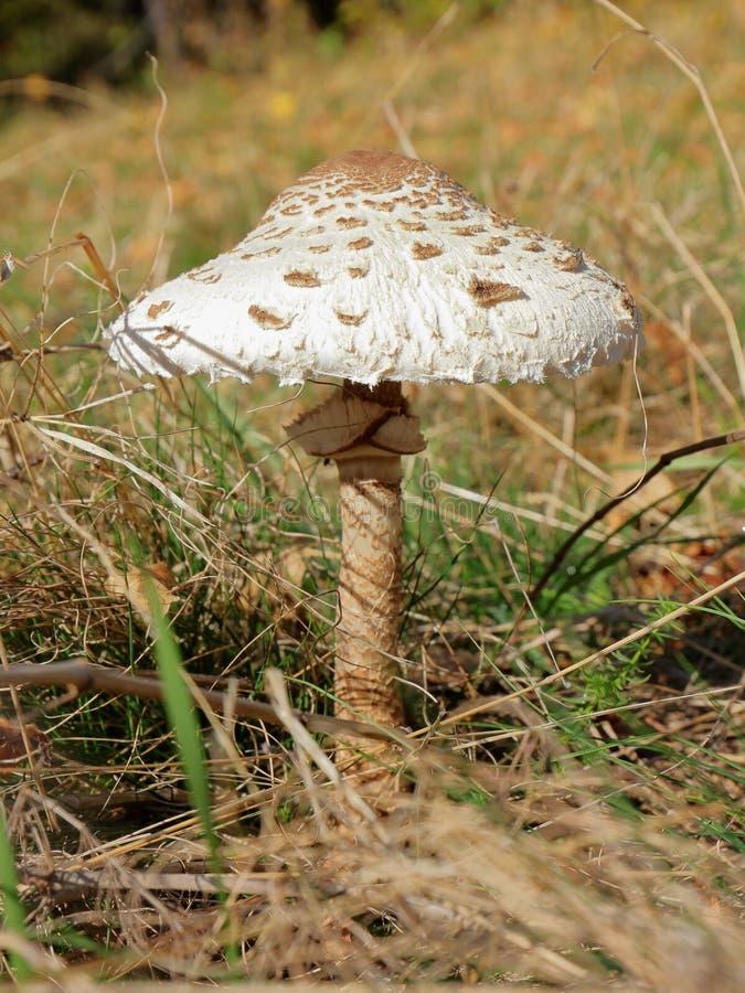 Конец-вверх гриба парасоля в солнечном дне стоковые изображения