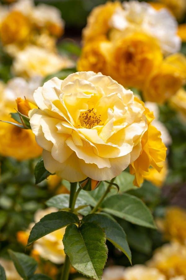Конец-вверх группы желтых роз floribunda Джулия Childs гибридных в выборочном фокусе в саде стоковое изображение rf