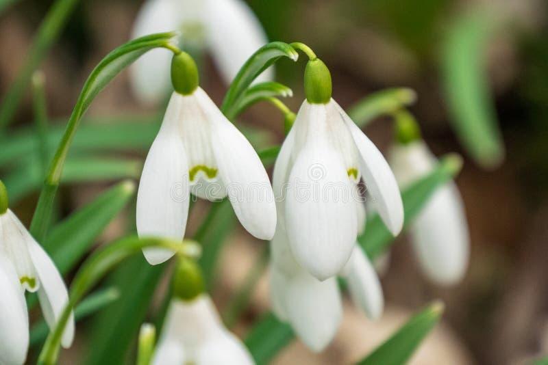Конец вверх группы snowdrop предыдущей весны открытой в шотландском полесье стоковые изображения rf