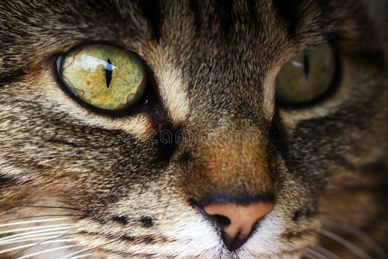 Конец-вверх глаза кота стоковые изображения rf