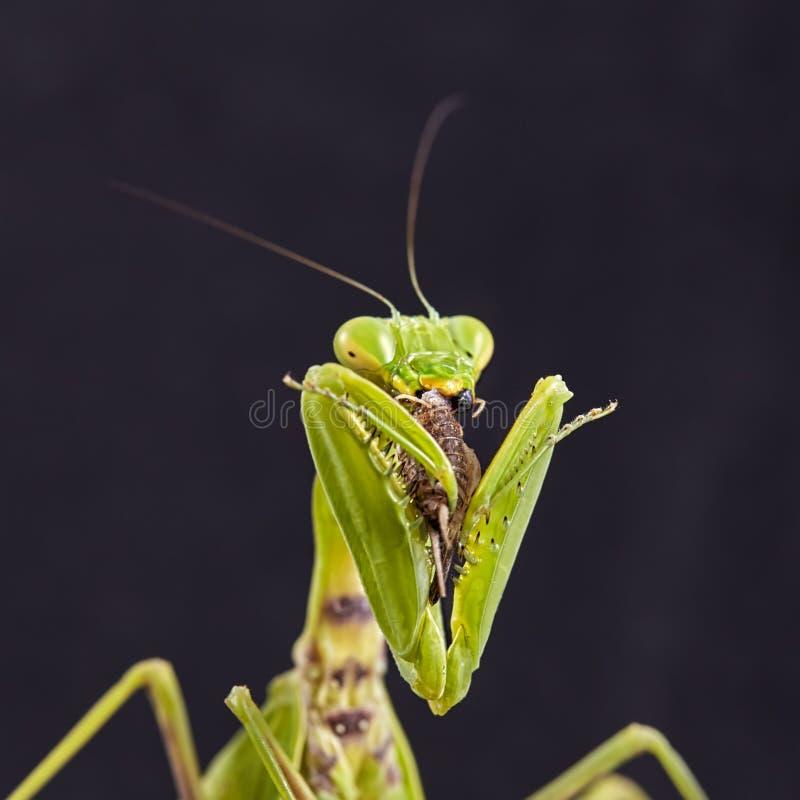 Конец-вверх европейского religiosa Mantis богомола стоковая фотография