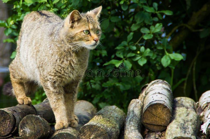 Конец-вверх европейской дикой кошки стоковое изображение rf