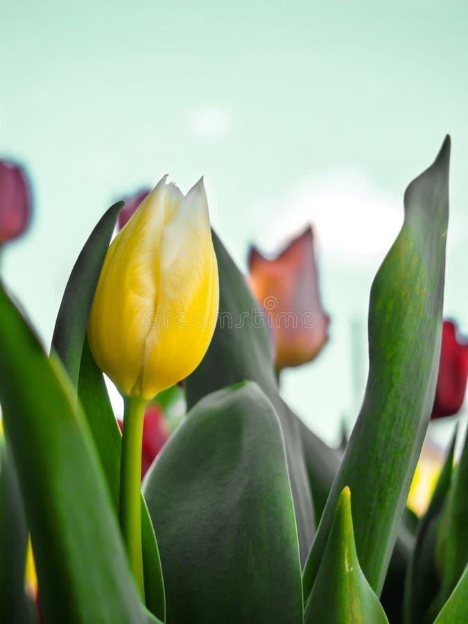 Конец-вверх желтых тюльпанов и листьев зеленого цвета стоковые фотографии rf
