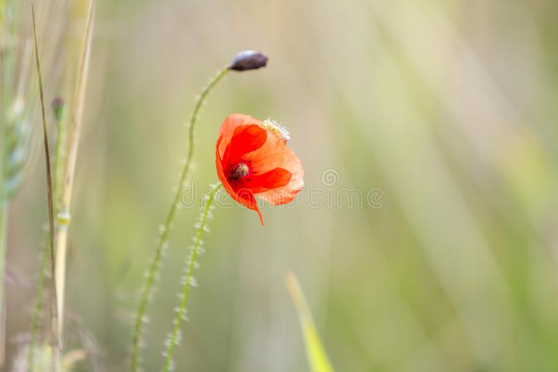 Конец-вверх зацветать предложения красиво освещенный маком солнца лета красным одичалым и чистым бутоном цветка на высоком стержн стоковая фотография