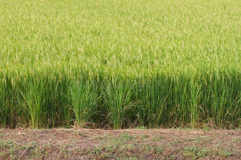 Конец-вверх зеленого поля риса стоковое фото rf