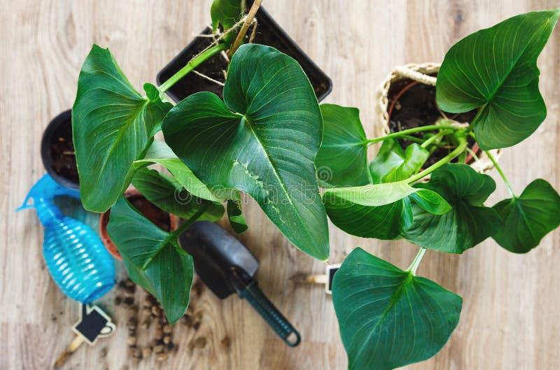 Конец-вверх зеленых растений с большими листьями в баках после repotting на таблице Зеленые домашние цветки, крытое украшение стоковое фото