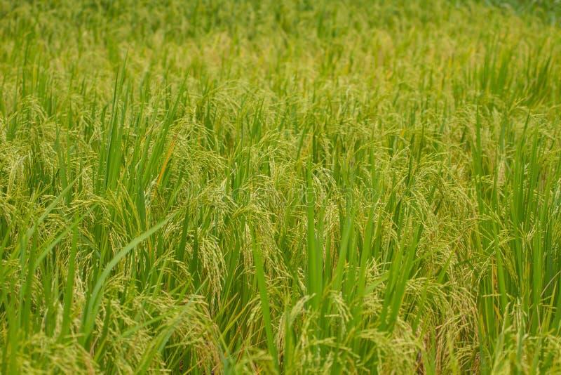 Конец-вверх зеленого поля риса стоковые изображения
