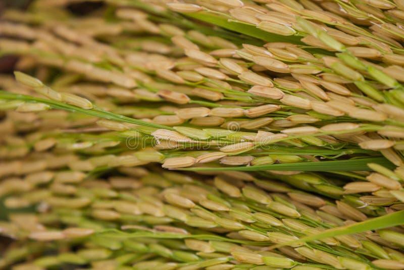 Конец-вверх зеленого поля риса стоковые фотографии rf