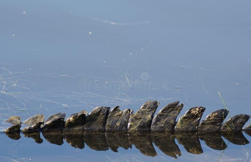 Конец-вверх кабеля аллигатора стоковые фотографии rf