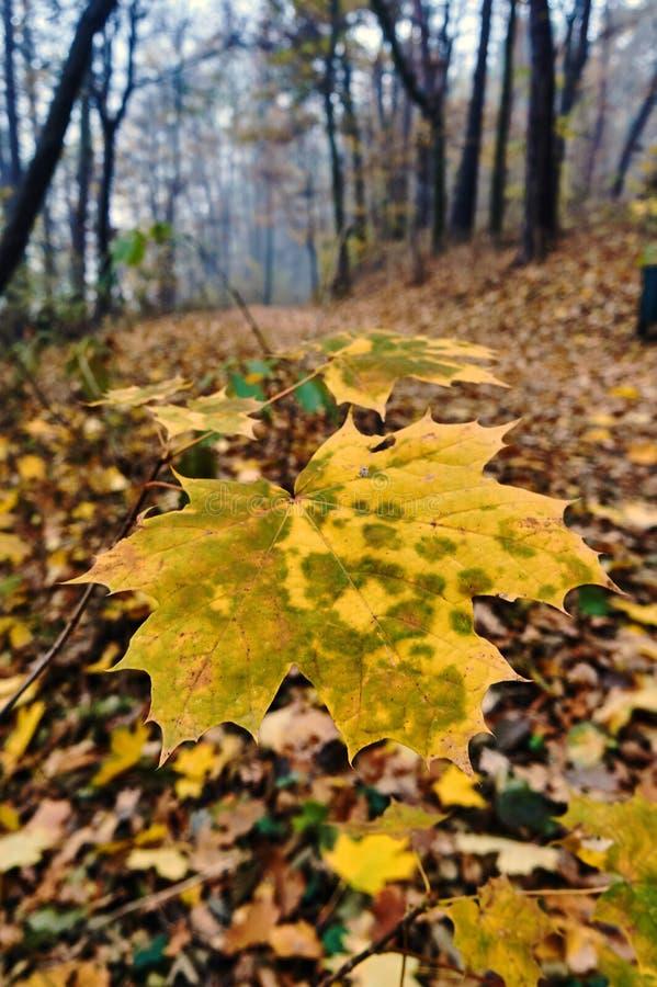 Конец-вверх кленового листа на лесе осени стоковые фото