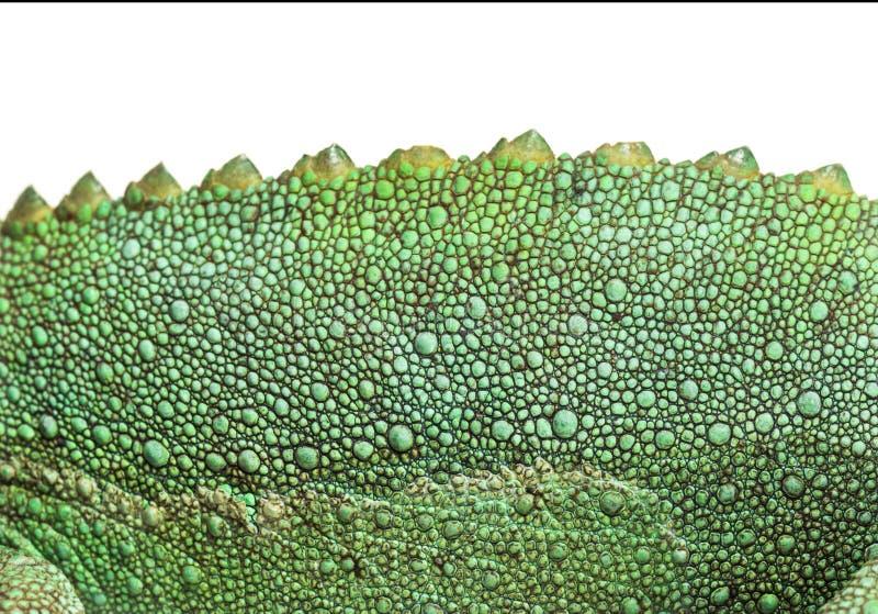 Конец-вверх кожи на хамелеоне Джексон horned стоковая фотография