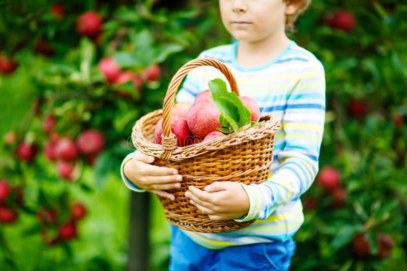 Конец-вверх корзины держа мальчиком ребенк выбирая и есть красные яблока на органической ферме, осени outdoors Смешное маленькое стоковые фото