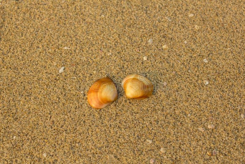 Конец-вверх 2 коричневый оранжевый раковин на расплывчатой предпосылке желтого песка с небольшими белыми раковинами стоковое фото