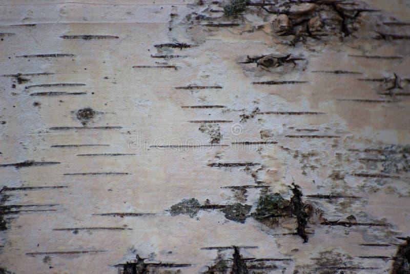 Конец-вверх коры березы, черно-белая естественная предпосылка роща зеленого цвета листва березы может стоковая фотография