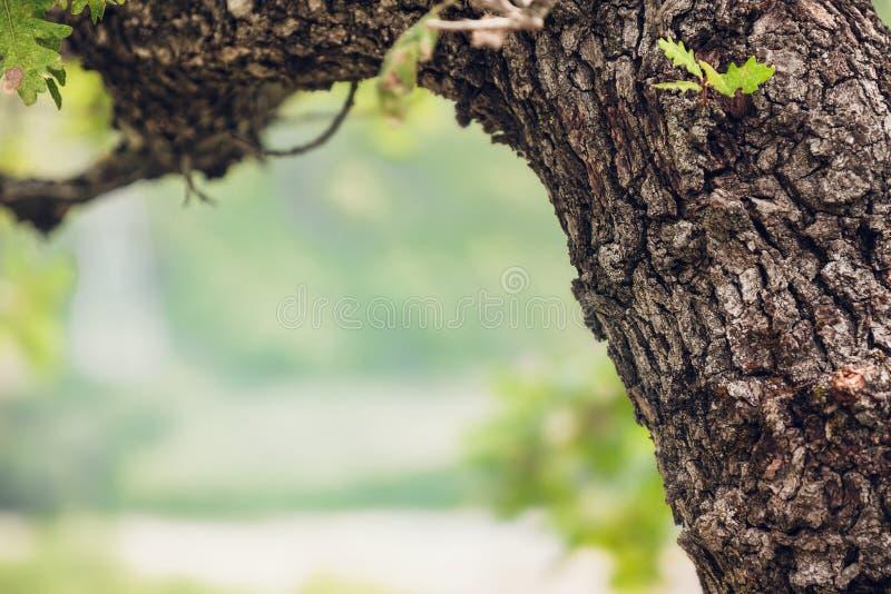 Конец-вверх коры дуба с листьями на зеленой предпосылке стоковые фотографии rf
