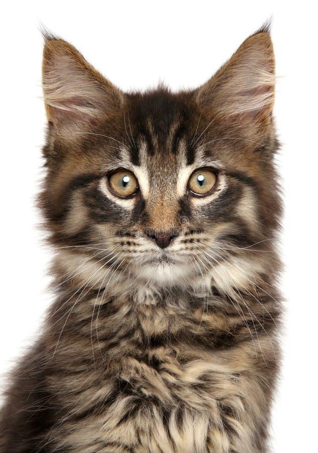 Конец-вверх котенка енота Мейна изолированного на белой предпосылке стоковая фотография