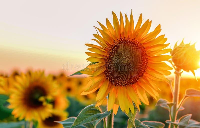 Конец-вверх красивого солнцецвета на заходе солнца стоковые фотографии rf