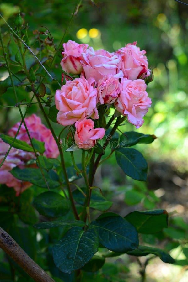 Конец-вверх красивой розовой розовой ветви, природа, макрос стоковые фотографии rf