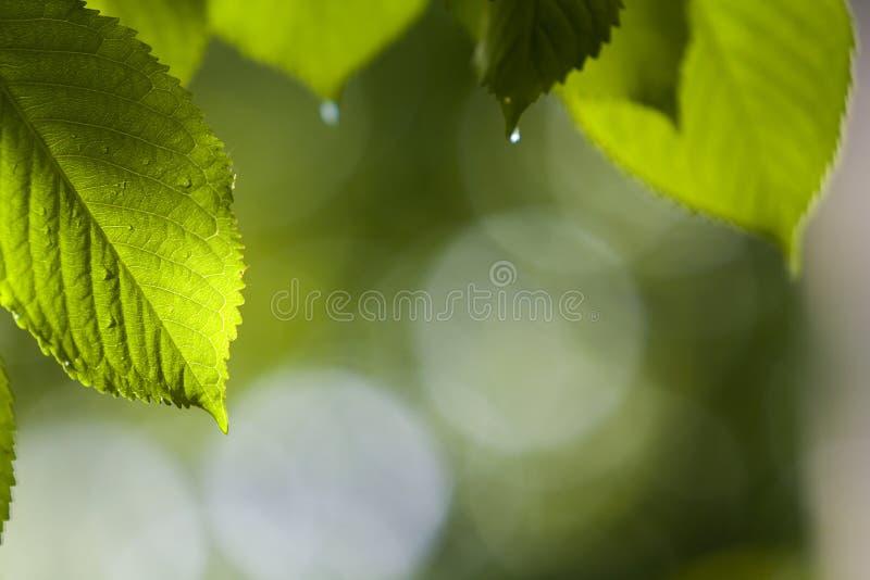 Конец-вверх красивых свежих новых сияющих листьев вишневого дерева при падения росы накаляя в солнечном свете лета на запачканном стоковое изображение
