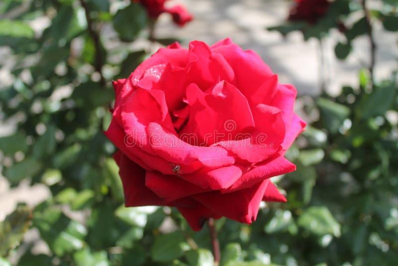 Конец-вверх красной розы с крошечным пауком стоковые фотографии rf