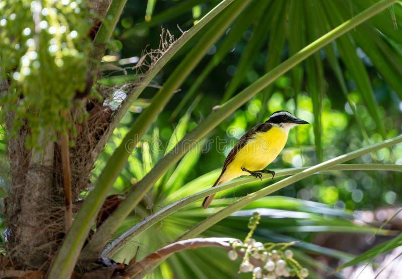Конец-Вверх красочной желтой птицы сидя на лист ладони стоковое фото