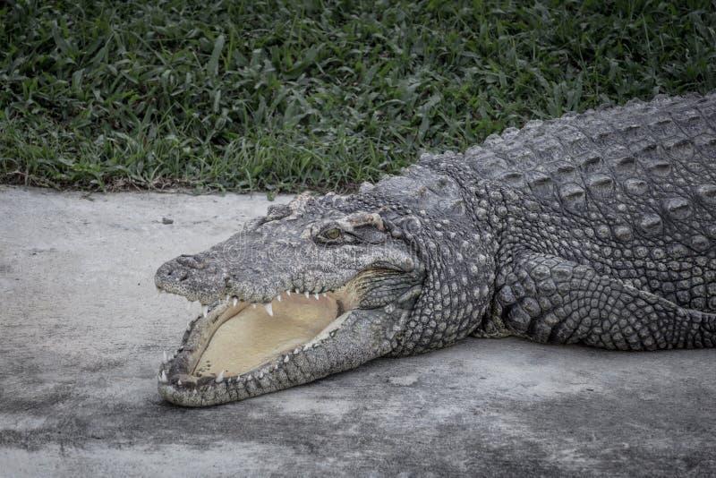 Конец-вверх крокодил открыт свой рот и отдыхающ на земле на ферме, страшном тоне стоковая фотография