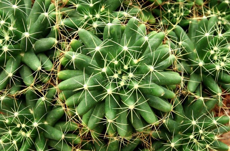 Конец-вверх круглого кактуса или суккулентного зеленого растения, абстрактной естественной предпосылки картины стоковые изображения rf