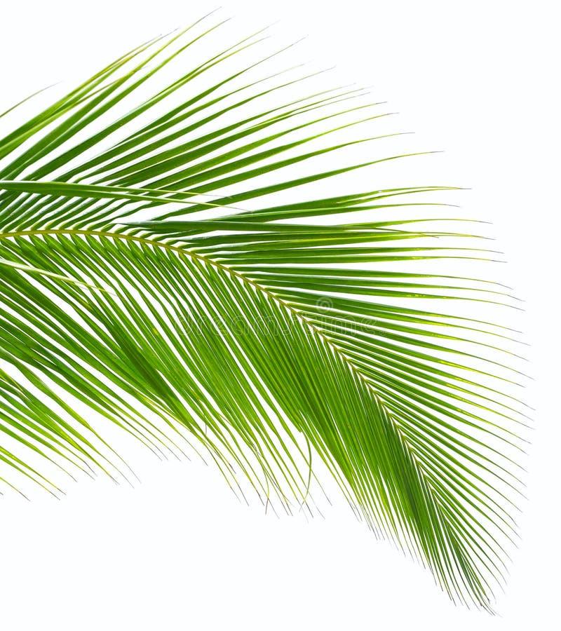 Конец-вверх лист пальмы стоковое изображение rf