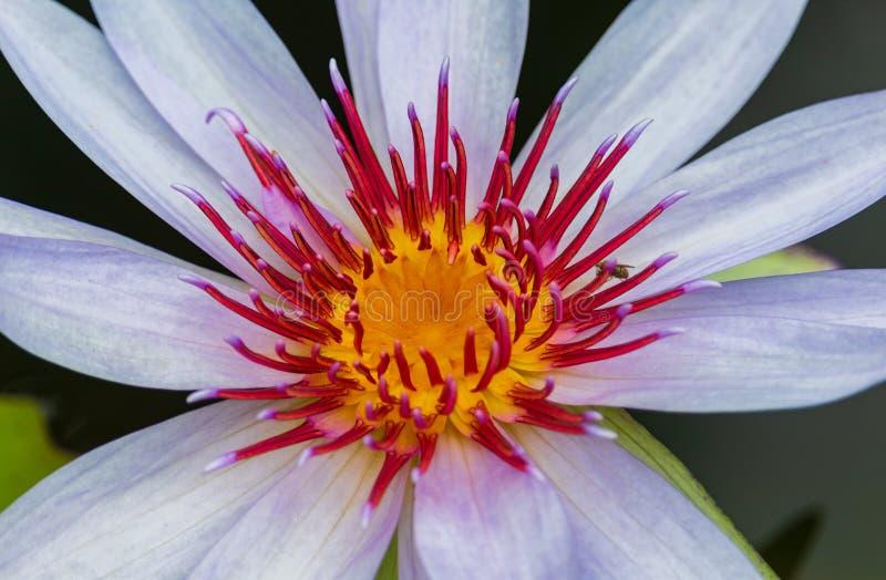 Конец-вверх лотоса blossomed красиво в природе стоковое фото rf