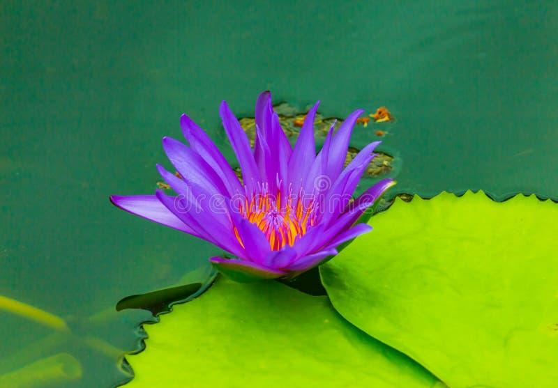 Конец-вверх лотоса blossomed красиво в природе стоковые фотографии rf